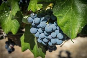 180223 - Grappe vin